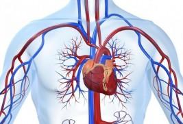 Цікаві факти про серце і кровоносну систему